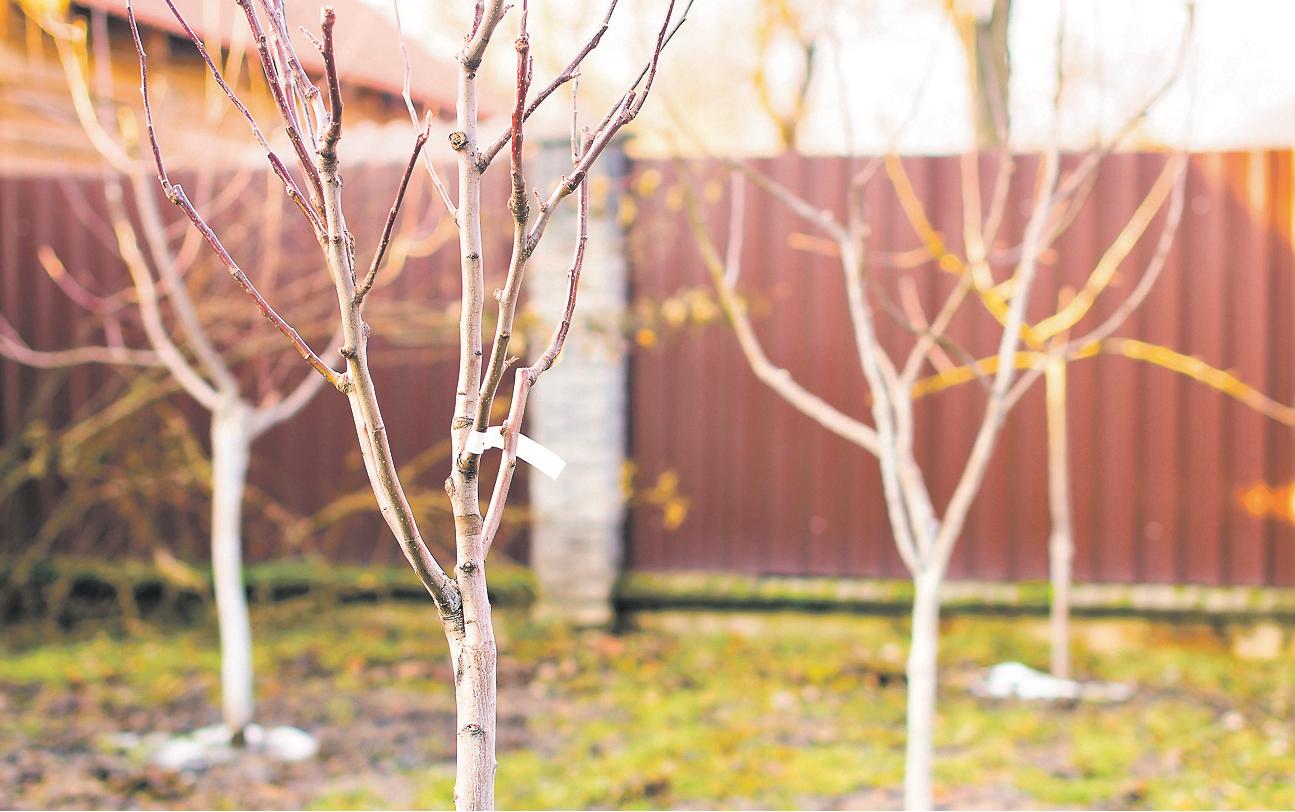 Посадка плодових дерев та ягідних чагарників у саду